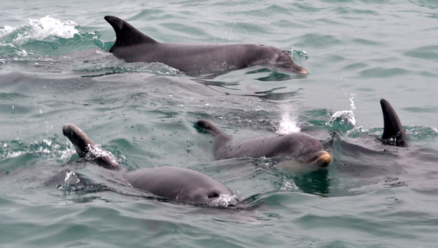 Bottlenose Dolphins Return to Newquay Bay