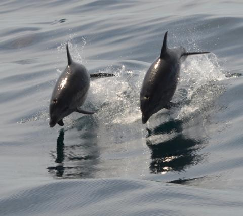 Dolphins in Newquay
